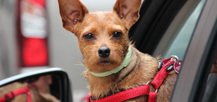 limpiar-oídos-perros