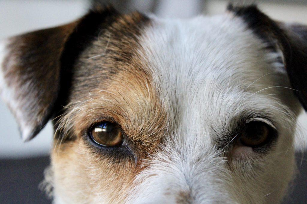 limpiar-ojos-de-perro