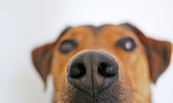 nariz-de-perro