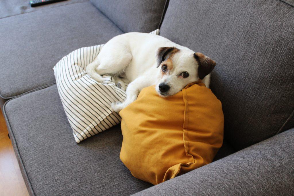 perro-dermatitis-atópica