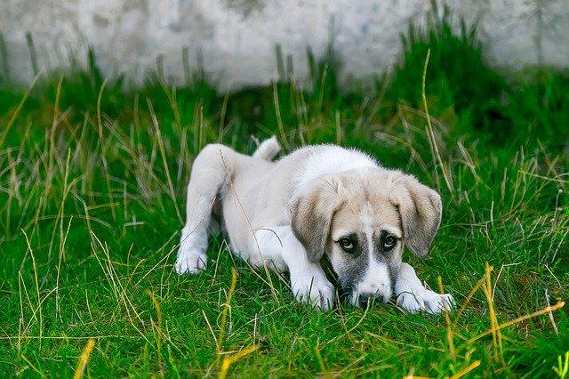 leishmaniasis-en-perros