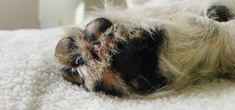 hidratar-almohadillas-a-perros