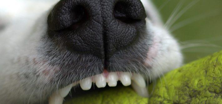 ceepillar-los-dientes-a-los-perros