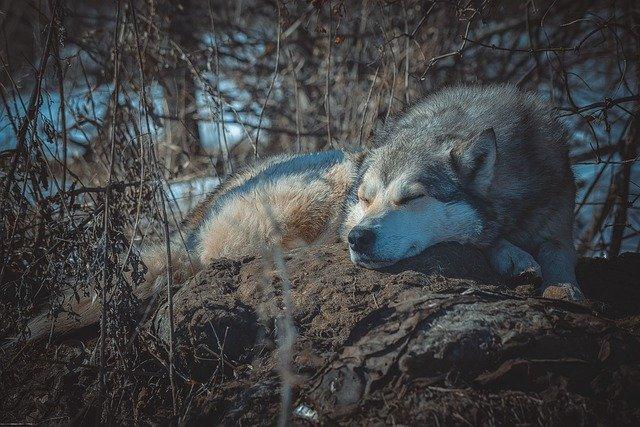 perros-y-lobos